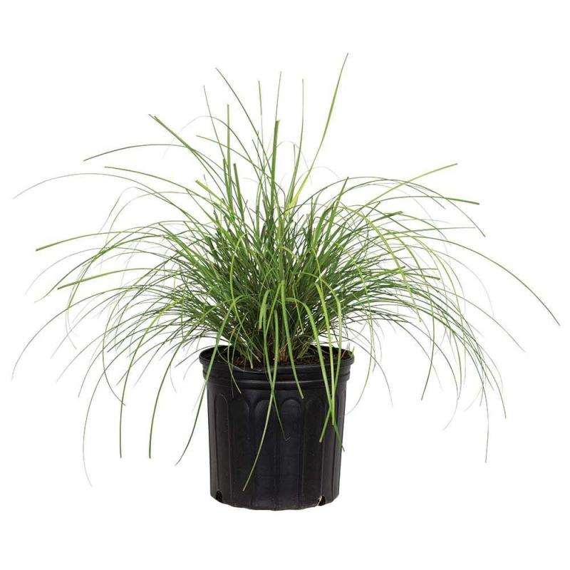 Large Of Japanese Silver Grass