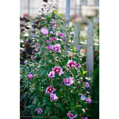 Medium Crop Of Rose Of Sharon Hedge
