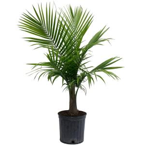 Comely Grower Home Depot Home Depot Tropical House Plants Home Depot Artificial House Plants Costa Farms Majesty Palm Grower Pot Costa Farms Majesty Palm