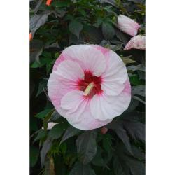 Small Of Midnight Marvel Hibiscus