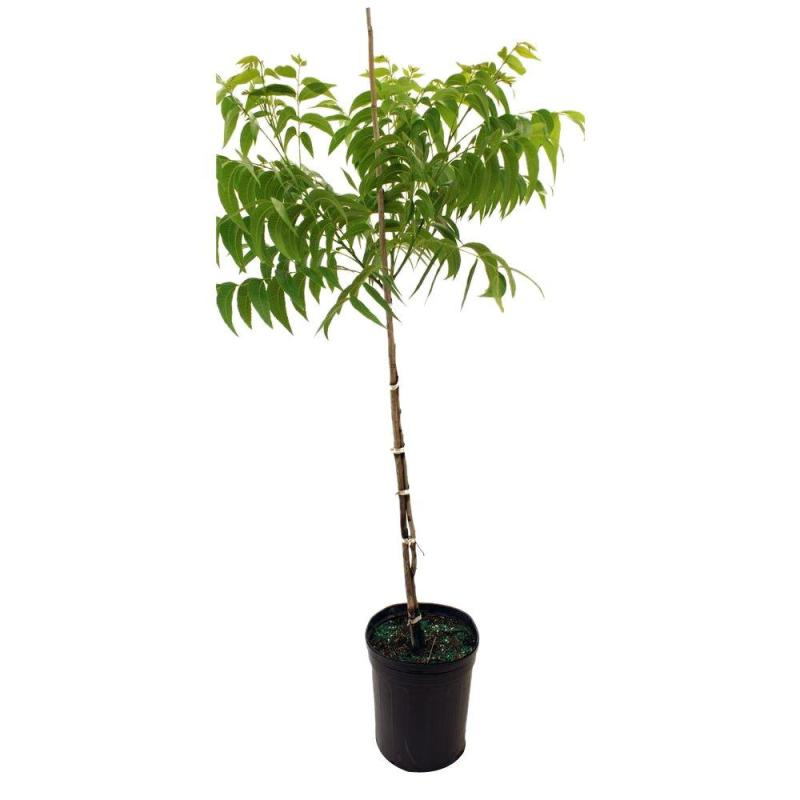 Large Of Home Depot Fruit Trees