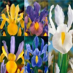 Small Of Iris Bulbs For Sale