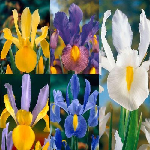 Medium Crop Of Iris Bulbs For Sale