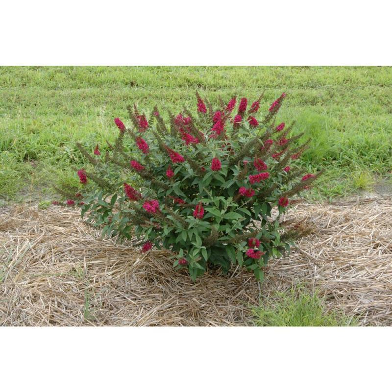 Large Of Pruning Butterfly Bush