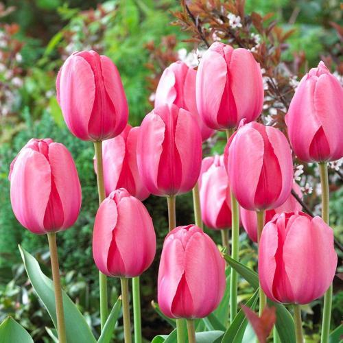 Medium Crop Of How To Store Tulip Bulbs