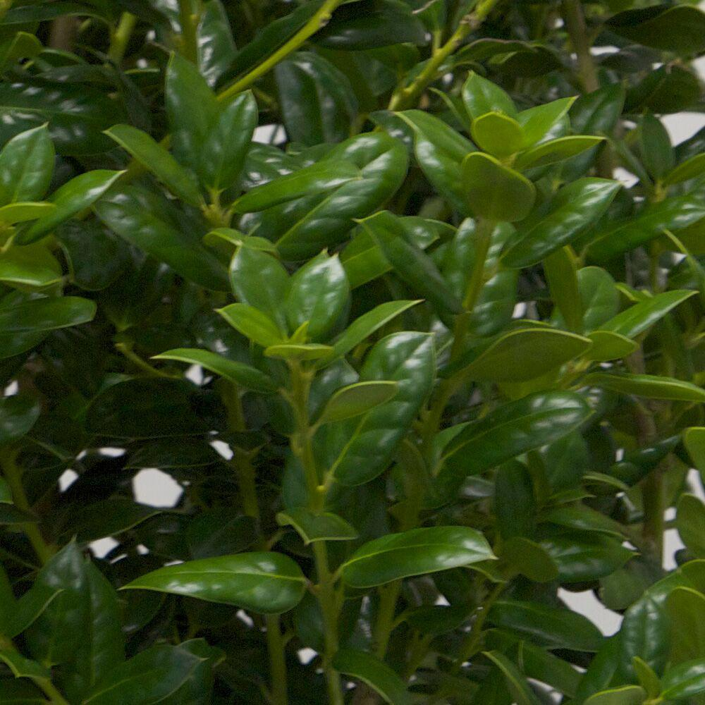 Swish Pot Dwarf Burford Live Evergreen Pot Dwarf Burford Live Evergreen Shrub Dwarf Burford Holly Facts Dwarf Burford Holly Spacing houzz-03 Dwarf Burford Holly