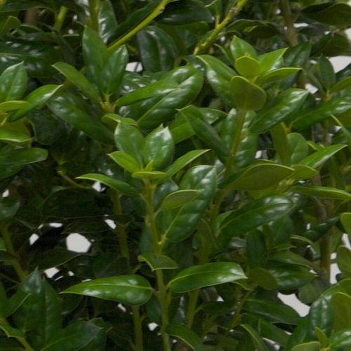 Medium Crop Of Dwarf Burford Holly
