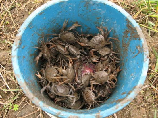 2015-06-22-1434996748-3114038-crabsinbucket.jpg