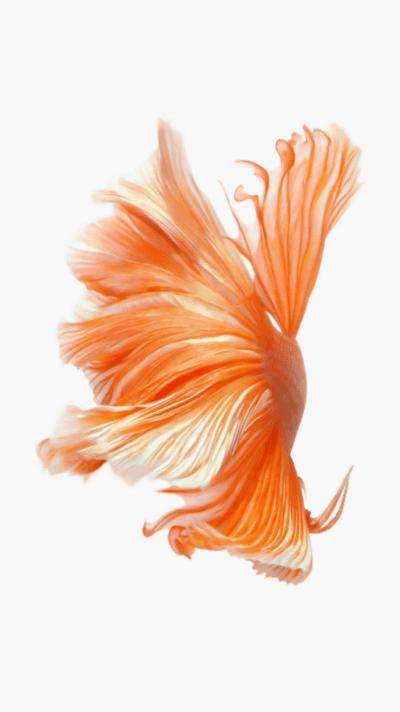 ภาพพื้นหลังรูปปลากัดสวยๆ ที่เห็นใน iPhone 6s