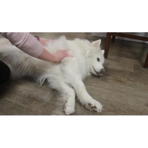 Medium Crop Of Fluffy White Dog