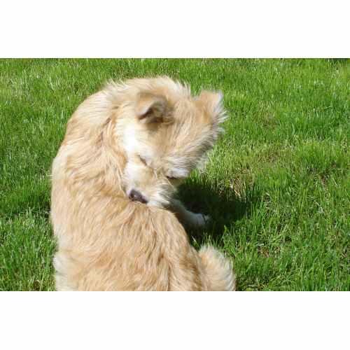 Medium Crop Of Flea Bites On Dogs