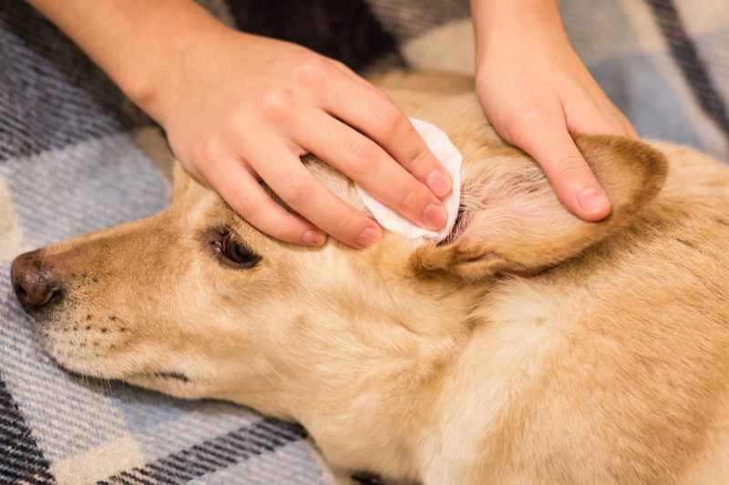 Large Of How To Treat Dog Ear Infection Without Vet