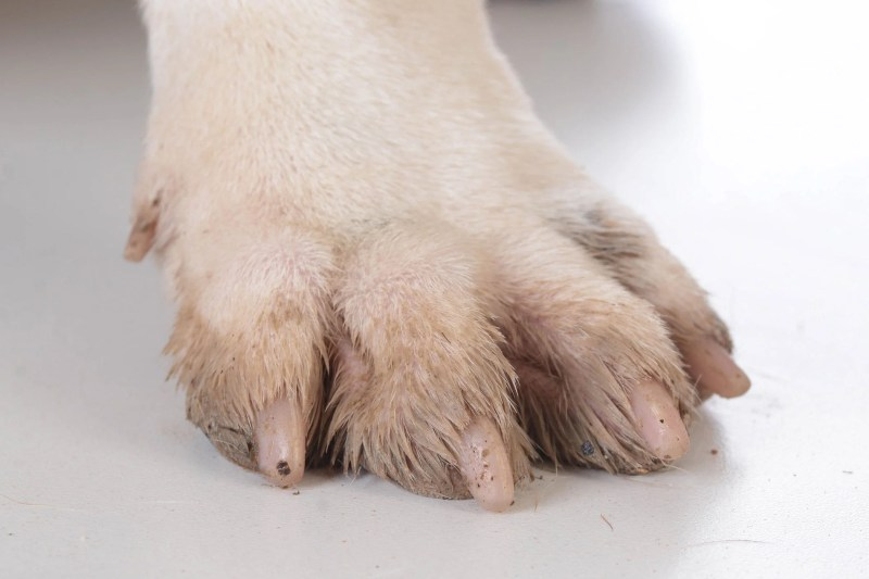 Large Of Dew Claw Removal