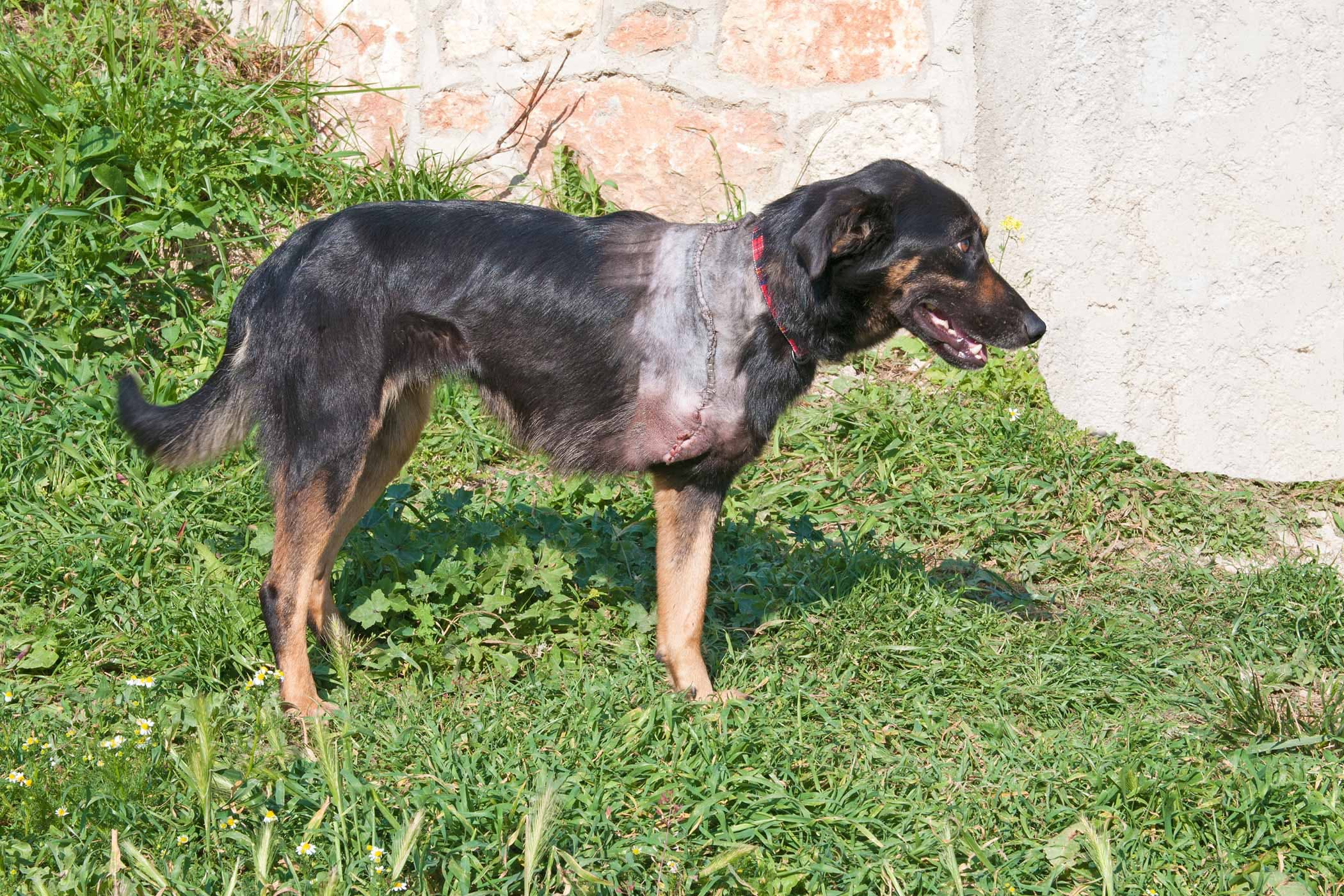 Sterling Dogs Front Leg Deformity Shaking Dogs Treatment Dog Is Limping Occasionally Dog Is Limping Front Leg Deformity bark post Dog Is Limping