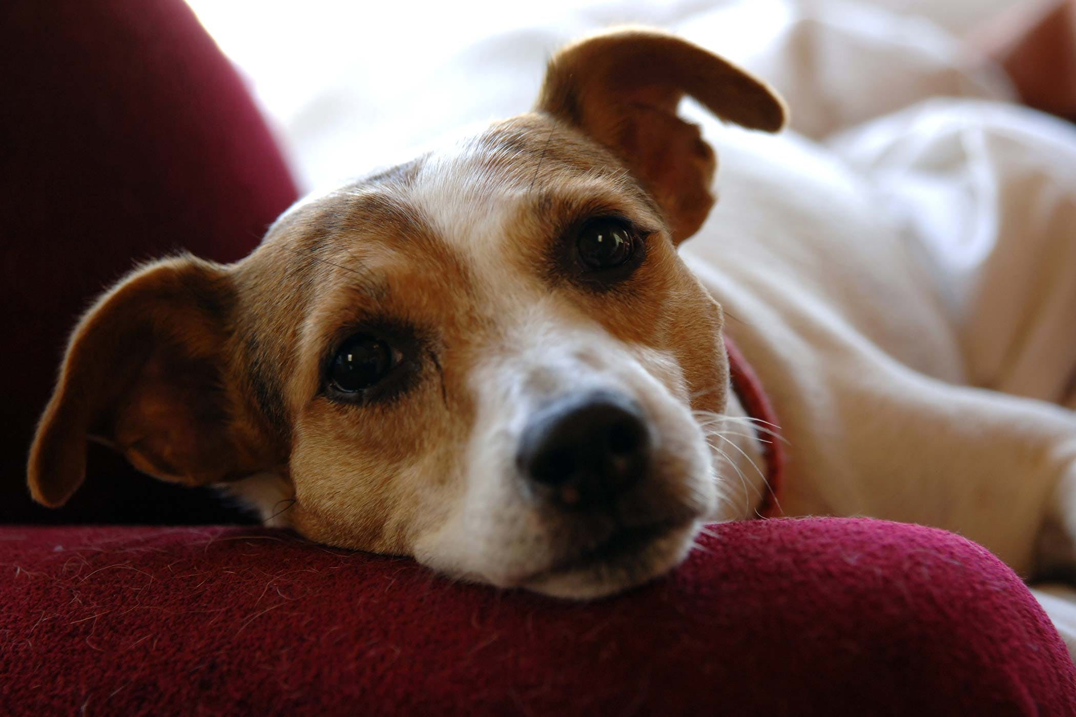 Peachy Dogs Jack Russell Terrier Allergies Allergies Uk Dogs Dogs Diagnosis Dogs Allergies Sufferers Jack Russell Terrier Allergies bark post Best Dogs For Allergies
