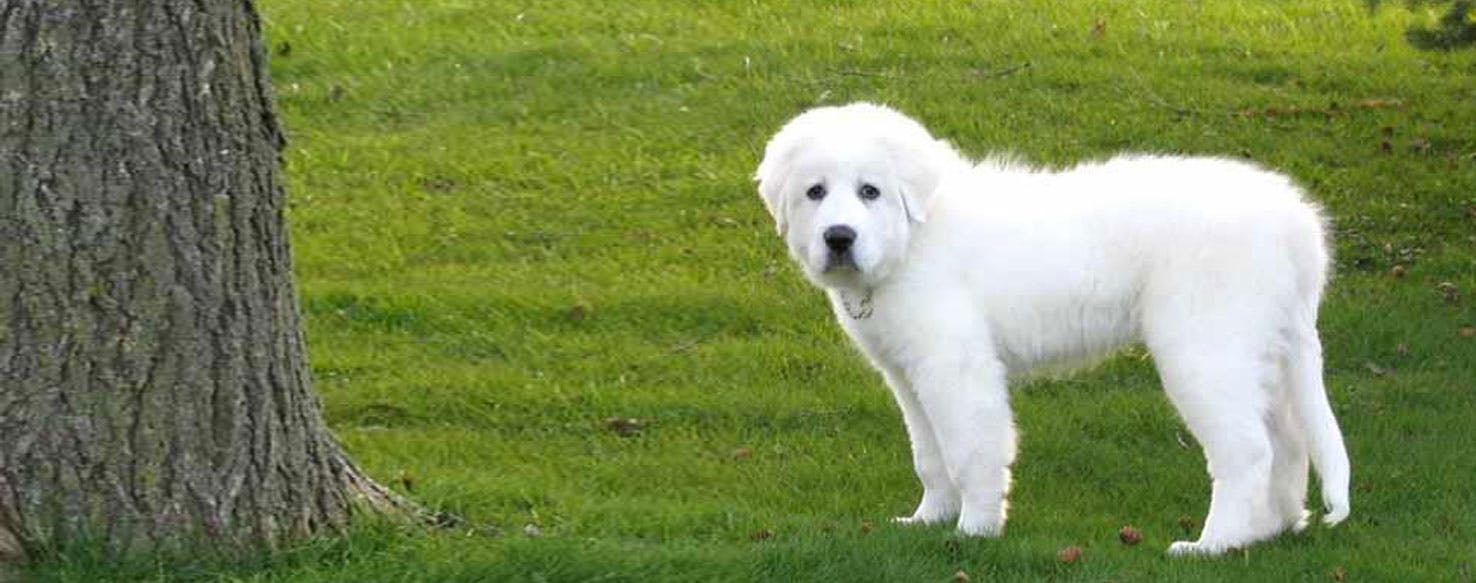 Fullsize Of Big White Fluffy Dog