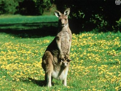 The Animal Kingdom images Kangaroo & Joey HD wallpaper and background photos (1139090)