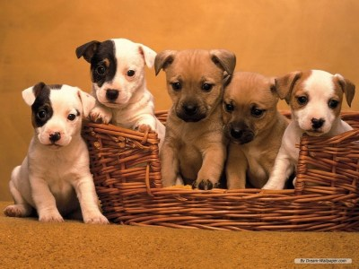 Dogs images Puppy Wallpaper HD wallpaper and background photos (7013331)