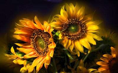 435 Sunflower HD Wallpapers | Background Images - Wallpaper Abyss