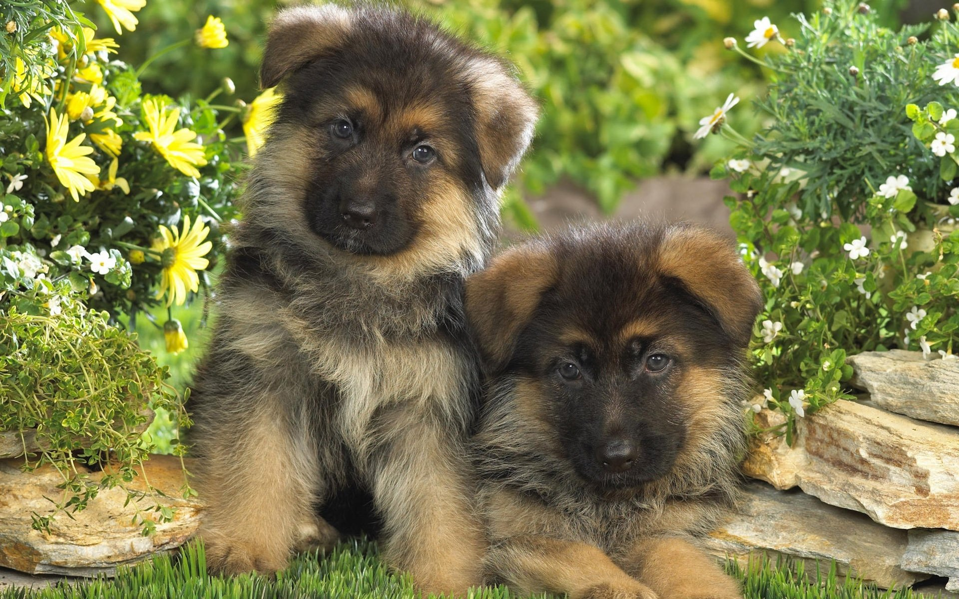 Multipurpose Hd Wallpaper Background Image Animal German Shepherd German Shepherd Hd Wallpapers Background Images Wallpaper Abyss German Shepherd Pics German Shepherd Videos bark post Cute German Shepherd