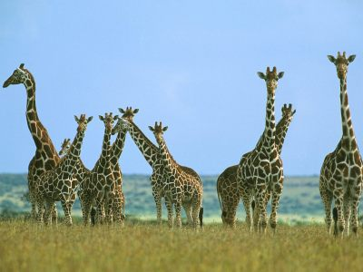 Giraffes images Giraffes HD wallpaper and background photos (24515816)