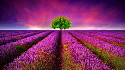 168 Lavender HD Wallpapers | Backgrounds - Wallpaper Abyss