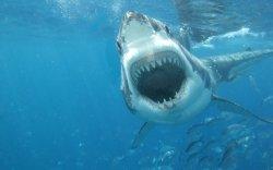 Small Of Great White Shark Wallpaper