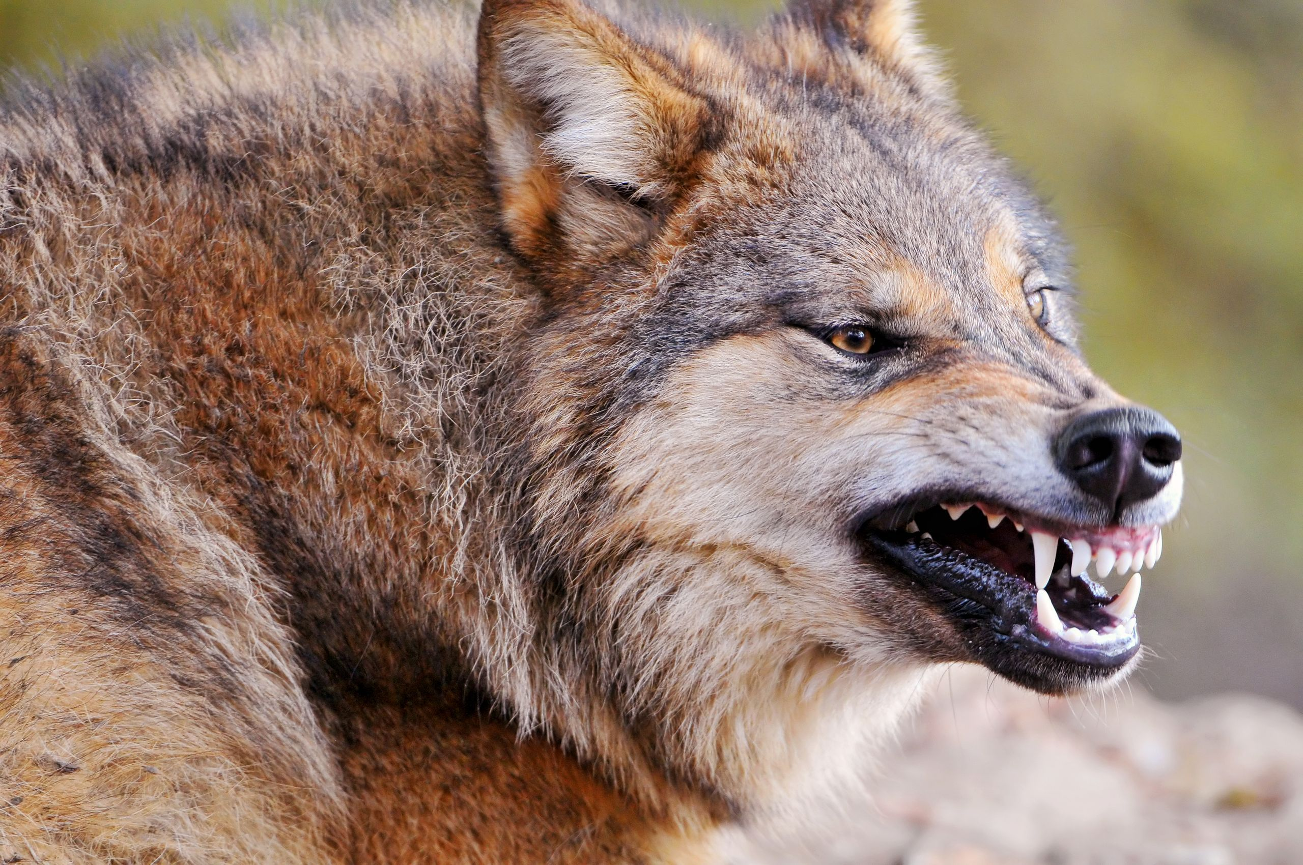 Astonishing Wolves Images Wolf Hd Wallpaper Background Photos Wolf Vs Dog Vs Coyote Wolf Vs Dog Bite Force Background Photos Wolves Images Wolf Hd Wallpaper bark post Wolf Vs Dog