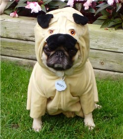 Small Of Pug In Costume