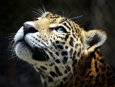 652 Leopard HD Wallpapers | Backgrounds - Wallpaper Abyss - Page 8