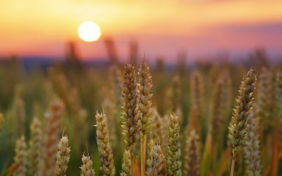 Wheat HD Wallpaper   Background Image   2100x1313   ID:417053 - Wallpaper Abyss