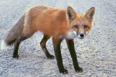 foxjpg