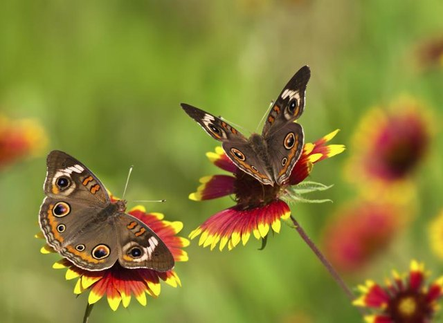 Butterflies complement annual Indian blanket's (_Gaillardi pulchella_) colorful blooms.