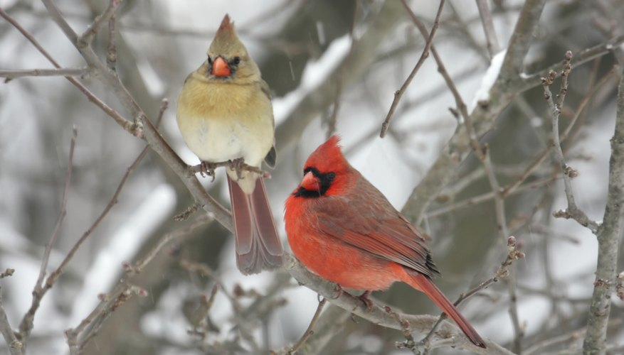 Information on the Cardinal Bird   Sciencing A male and female cardinal perch in a shrub on a snowy day
