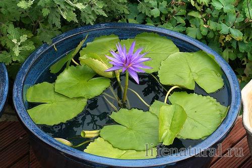 кувшинки и водяные лилии на даче в садовом пруду