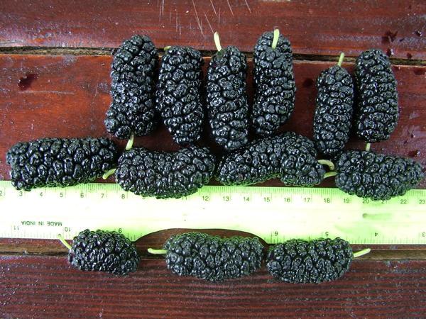 Шелковица черная Шелли 150