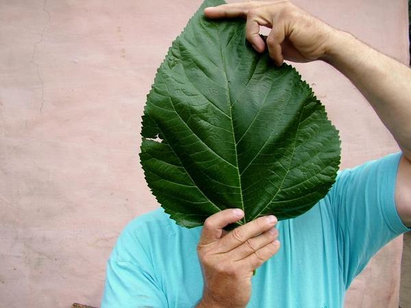 Лист шелковицы сорта ШелЛИ 150