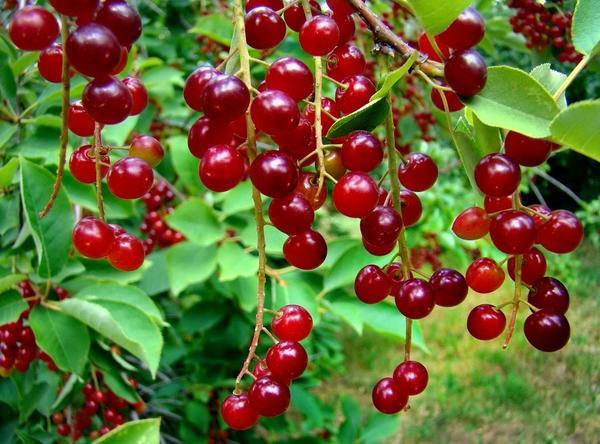 Плоды виргинской черемухи