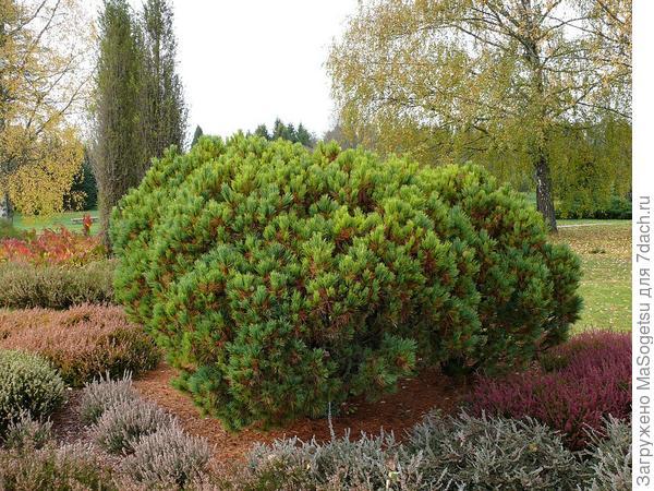 Pinus peuce Griseb (сосна балканская она же румелийская)