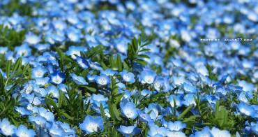 茨城 國營常陸海濱公園 粉蝶藍色浪漫花海