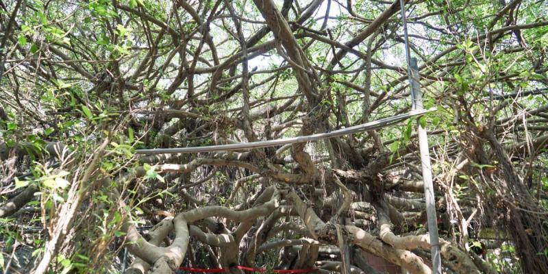 彰化景點竹塘九龍大榕公|一樹成林!一睹全台最大榕樹公壯闊綿延,近西螺大橋舊橋。
