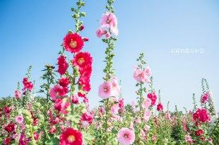 |台南‧學甲|2017年唸戀蜀葵花,花都開好了