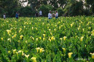 |台中‧外埔|台中版竹子湖,金黃色海芋田,來一場海芋戀吧