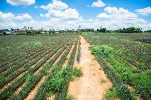 |嘉義景點|旺萊山鳳梨文化園區,鳳梨觀光工廠,有提供免費鳳梨酥試吃