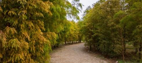 Taichung 台中‧后里 2015年季節限定美景,泰安國小旁落羽松,也是外拍的好地方
