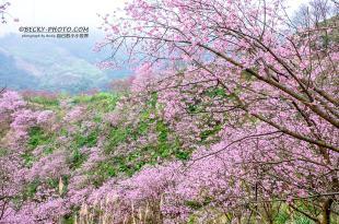 【新北】。三峽櫻花五萬株粉色櫻提早開了!不是熊空茶園<花況.交通.收費看這篇>