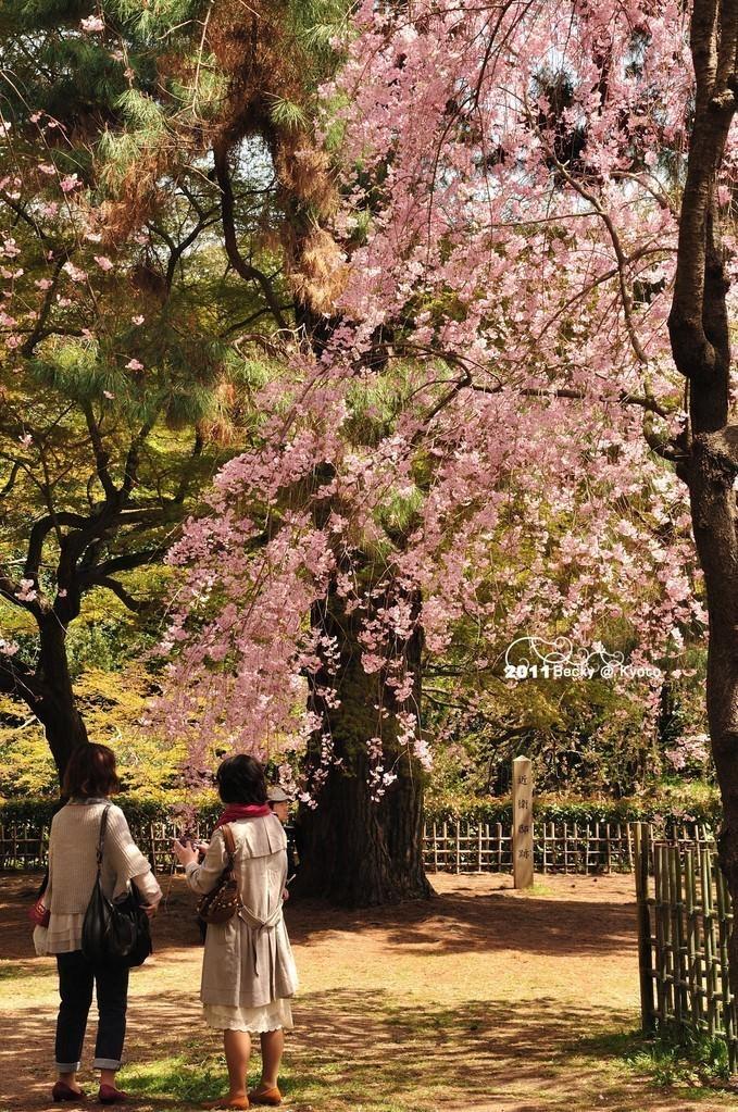 【京都】。京都御苑浪漫賞櫻