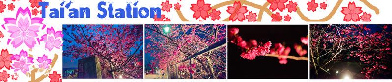 【后里】。「泰安派出所」讓夜間賞櫻更有FU….預估會一直美到元宵節