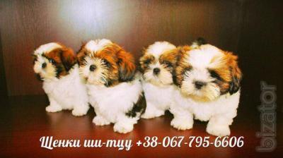 Club puppies Shih Tzu - Buy on www.bizator.com