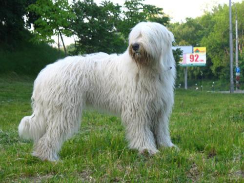 Medium Of Russian Guard Dog